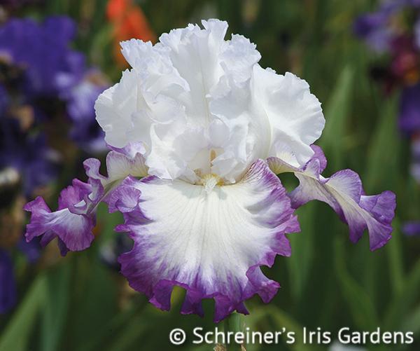 Center Ice | White Iris