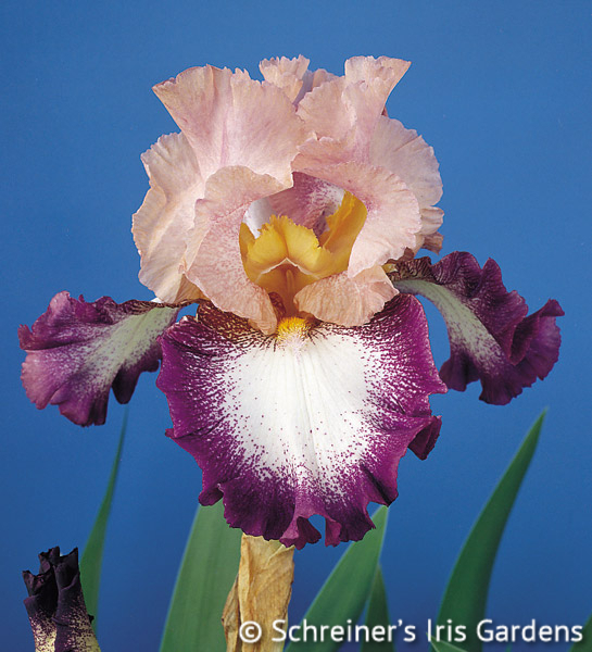 Change of Pace | Historical Bearded Iris