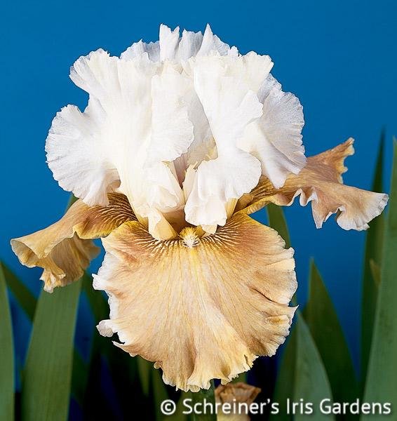 Changing Seasons | Yellow Iris
