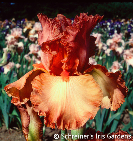 Copper Classic | Historical Bearded Iris
