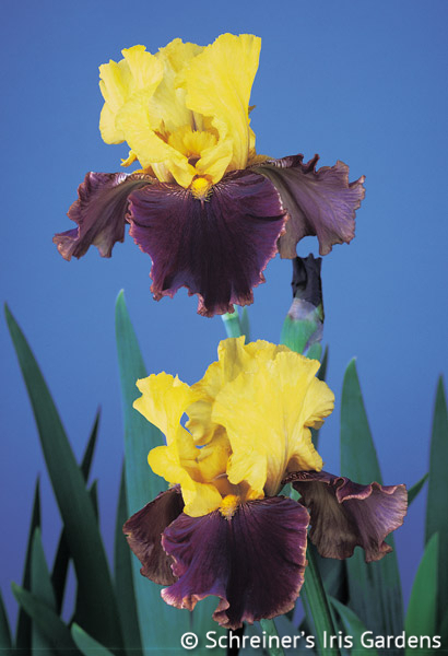 Country Charm | Yellow Iris