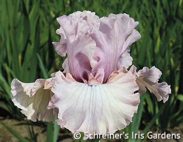 Country Kisses | Lavender Iris