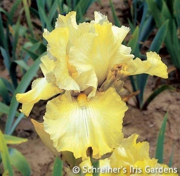 County Cork | Yellow Iris