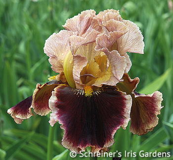 Cowboy Caviar | Tall Bearded Iris
