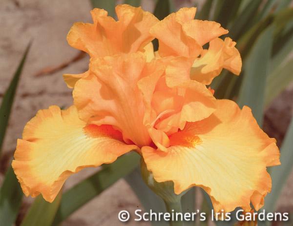 Crackling Caldera | Tall Bearded Iris