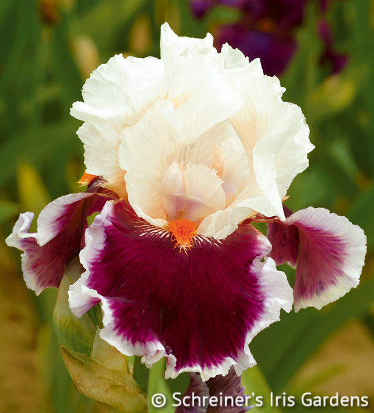 Crimson Cloud | Tall Bearded Iris