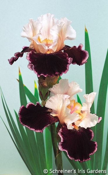 Crimson Snow | Tall Bearded Iris