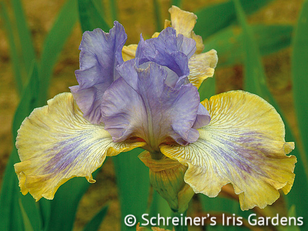 Dancing On Air | Tall Bearded Iris