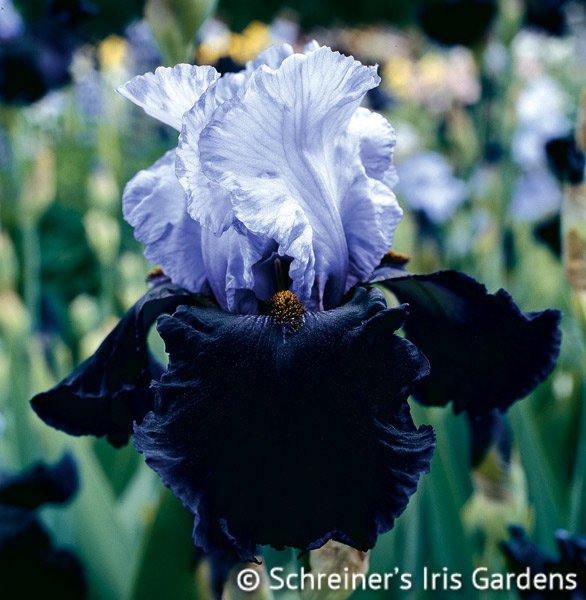 Dangerous Mood | Tall Bearded Iris
