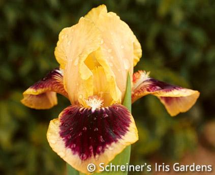 Dazzle Me | Dwarf Bearded Iris