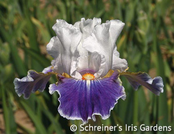 Dazzling | Intermediate Bearded Iris