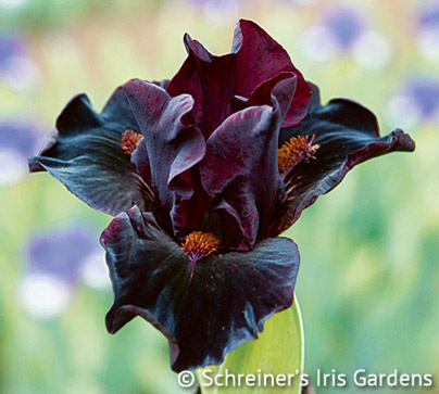 Devil Baby | Dwarf Bearded Iris