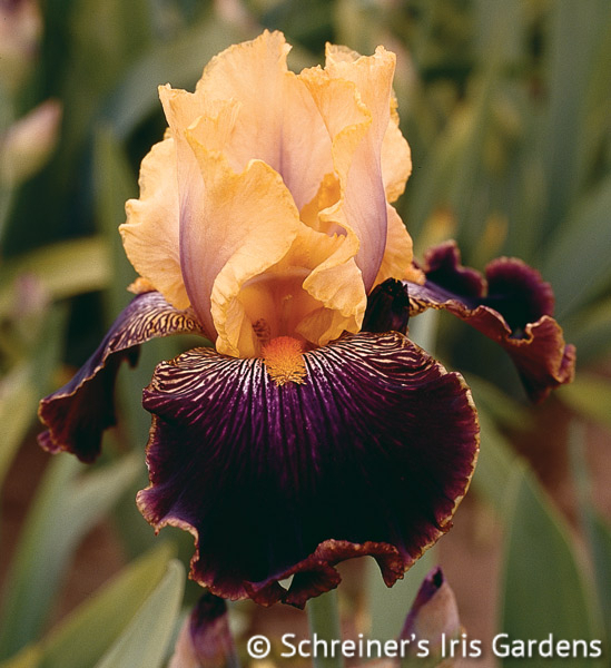 Devil's Riot | Tall Bearded Iris
