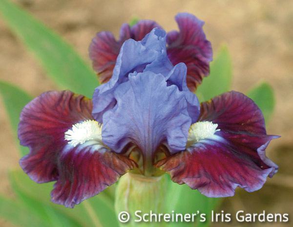Devoted | Dwarf Bearded Iris