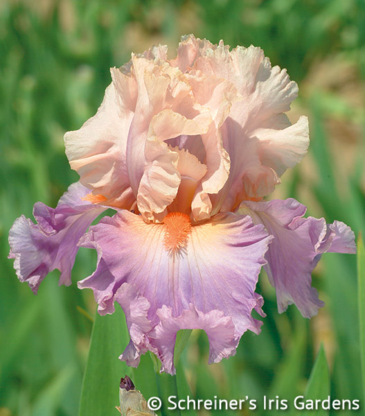 Discovered Treasure | Cream Iris