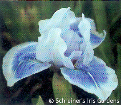 Dot Com | Dwarf Bearded Iris