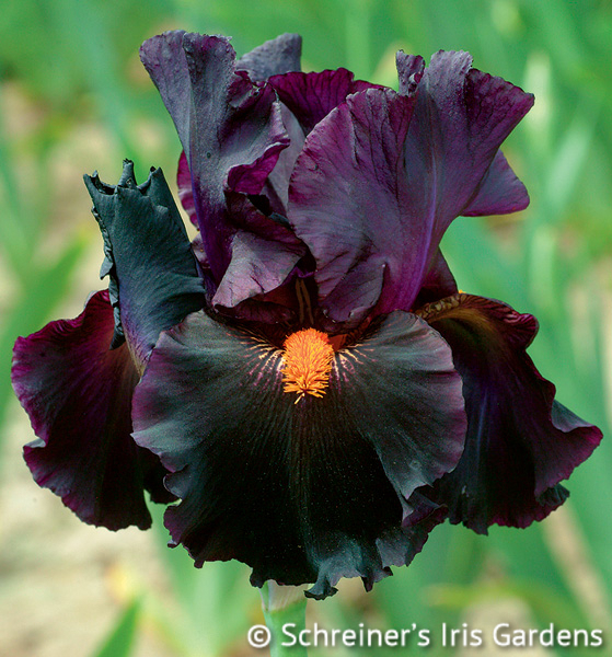 dracula 39 s kiss tall bearded iris. Black Bedroom Furniture Sets. Home Design Ideas