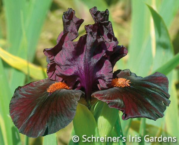 Dragonmaster | Red Iris