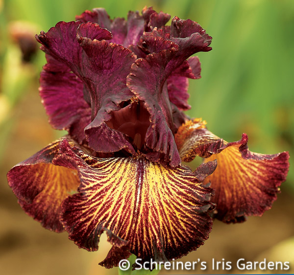Drama Queen | Fragrant Iris