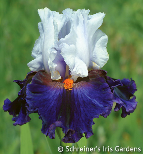 Dramatic Style | Tall Bearded Iris