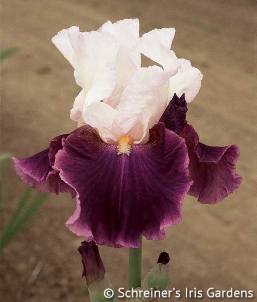 Dreaming of Rio | Tall Bearded Iris