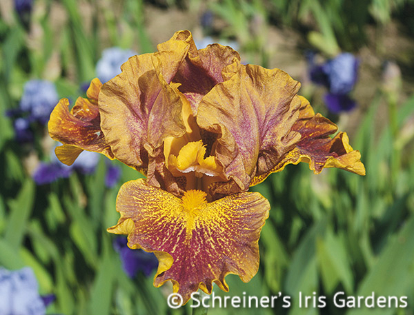 Dude | Intermediate Bearded Iris
