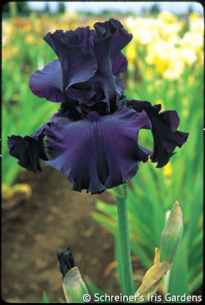 Dusky Challenger | Tall Bearded Iris