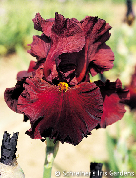 Dynamite | Tall Bearded Iris