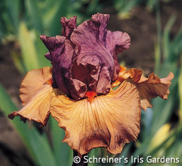 Earthborn | Brown Iris