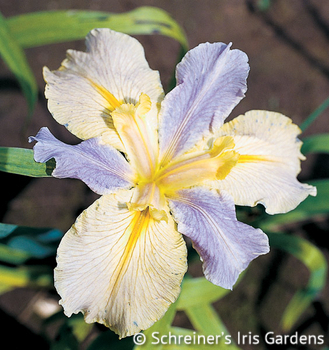Easter Tide | Louisiana Iris