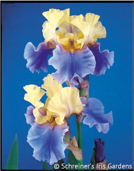 Edith Wolford | Tall Bearded Iris