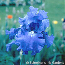 Elegance In Blue | Tall Bearded Iris