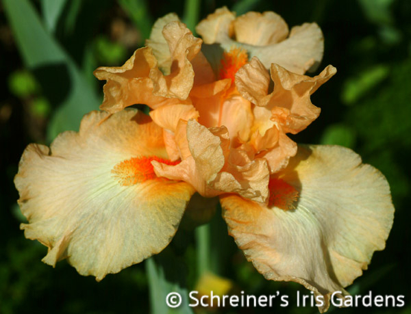 Elysium | Intermediate Bearded Iris