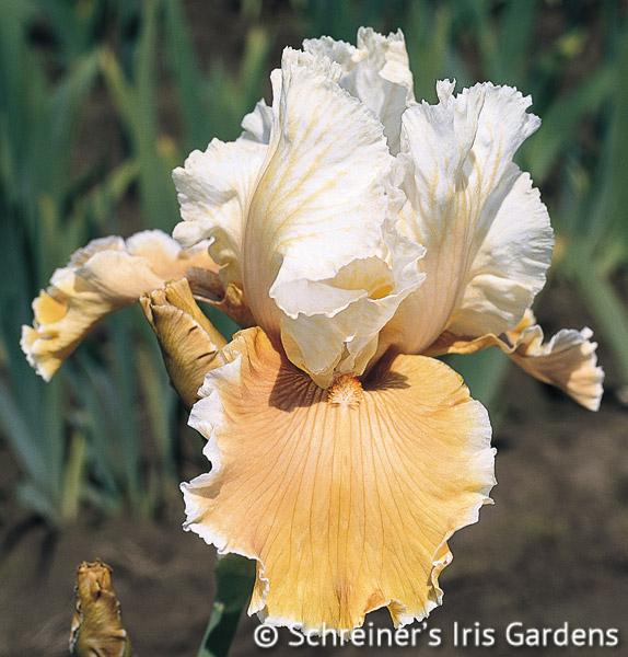 English Charm | Apricot & Peach Iris