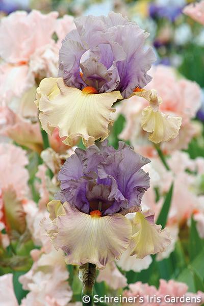 Enraptured | Tall Bearded Iris