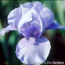 Eramosa Skies | Dwarf Bearded Iris