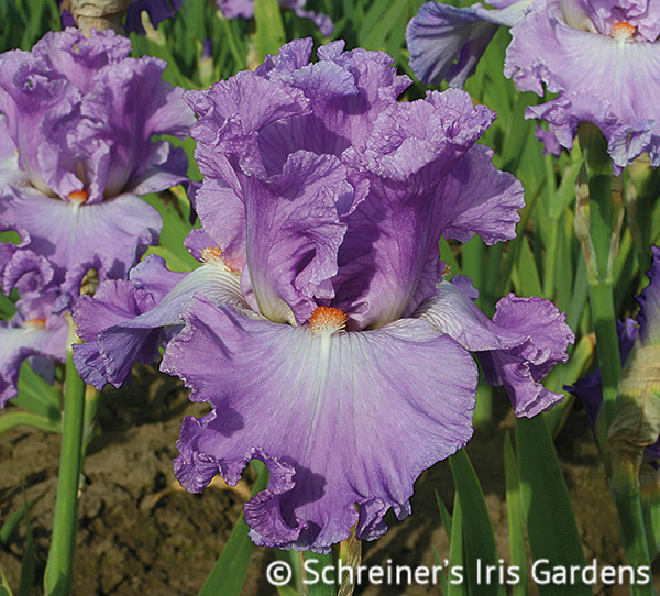 Excuse Me Darling | Tall Bearded Iris