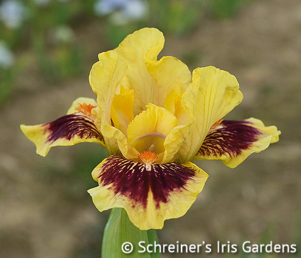 Eye Of The Tiger Pics eye of the tiger | dwarf bearded iris