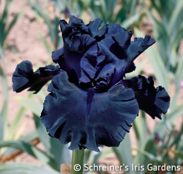 Fade to Black | Tall Bearded Iris
