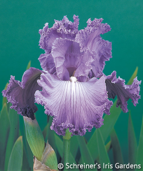 Feature Attraction | Tall Bearded Iris