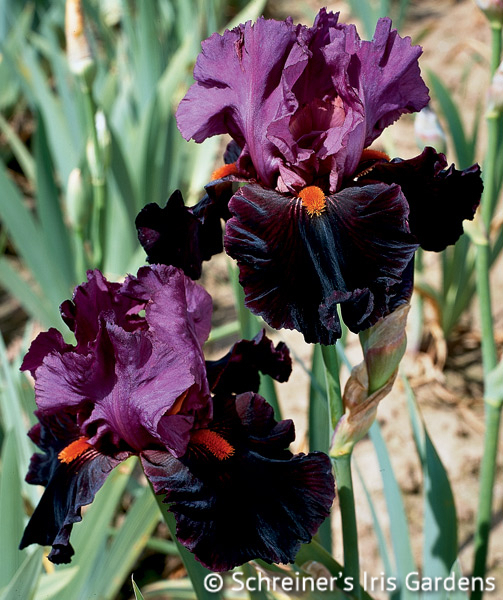 Fiery Temper | Tall Bearded Iris