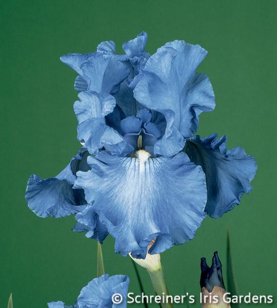 Fiesta In Blue | Tall Bearded Iris