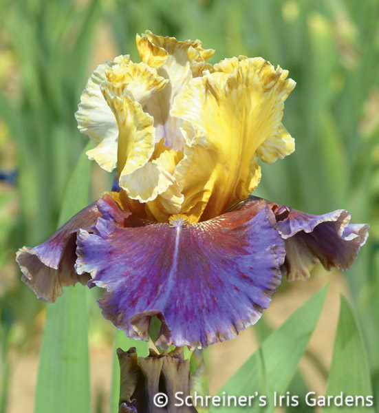 Final Episode | Reblooming Iris: Colorful Summer Blossoms