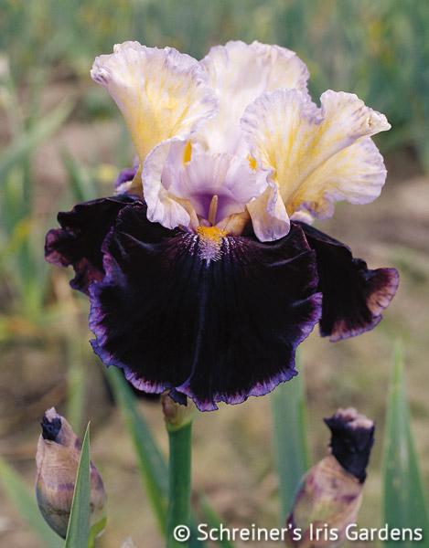 Finalist | Cream Iris