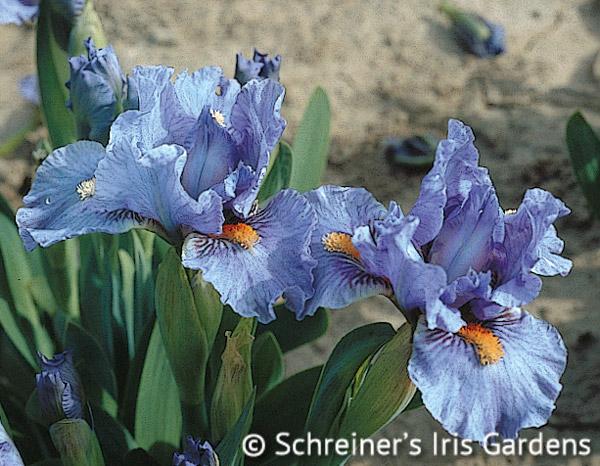 Fires of Fiji | Dwarf Bearded Iris