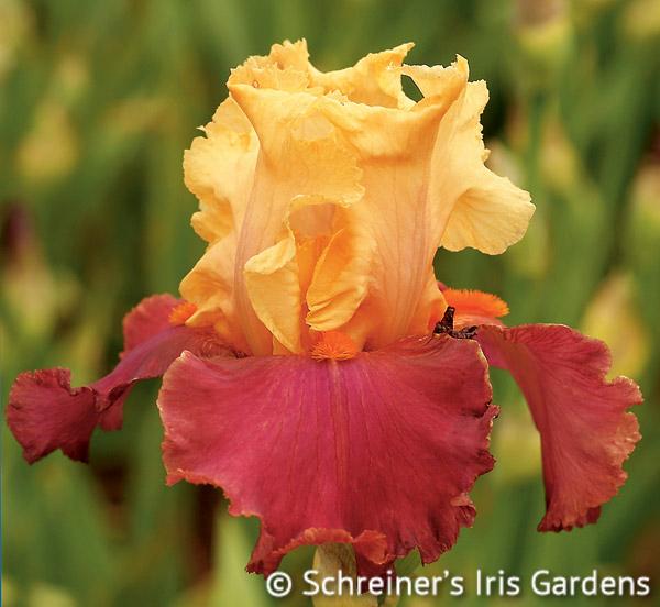 Frimousse | Apricot & Peach Iris