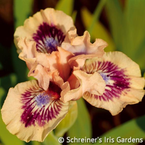 Frisk Me | Dwarf Bearded Iris