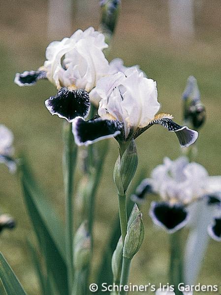Frosted Velvet | Border & Table Beaded Iris