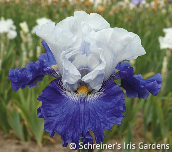 FX Schreiner | White Iris
