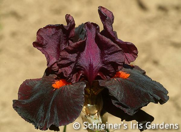 Garnet Slippers | Intermediate Bearded Iris